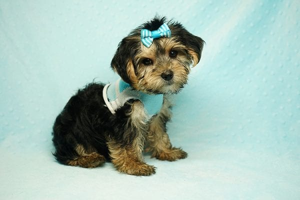 Formula 1 - Toy Yorkie Puppy has found a good loving home with Lucy from Las Vegas, NV 89149-24620