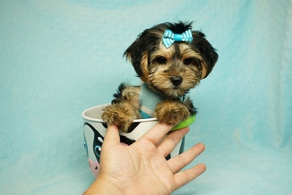 Formula 1 - Toy Yorkie Puppy has found a good loving home with Lucy from Las Vegas, NV 89149-24621