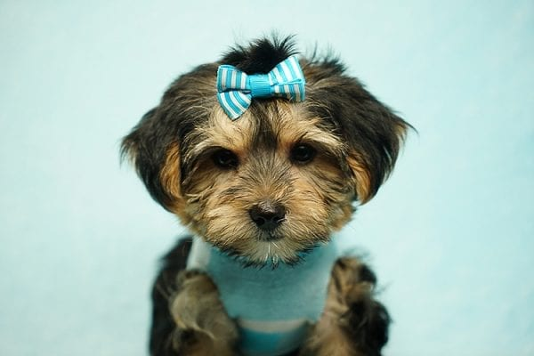 Formula 1 - Toy Yorkie Puppy has found a good loving home with Lucy from Las Vegas, NV 89149-24614