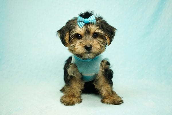 Formula 1 - Toy Yorkie Puppy has found a good loving home with Lucy from Las Vegas, NV 89149-24615