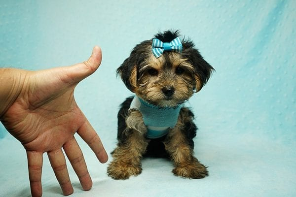 Formula 1 - Toy Yorkie Puppy has found a good loving home with Lucy from Las Vegas, NV 89149-24619
