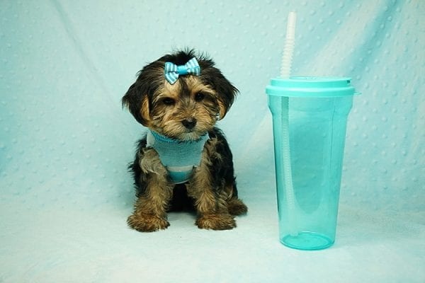 Formula 1 - Toy Yorkie Puppy has found a good loving home with Lucy from Las Vegas, NV 89149-24618