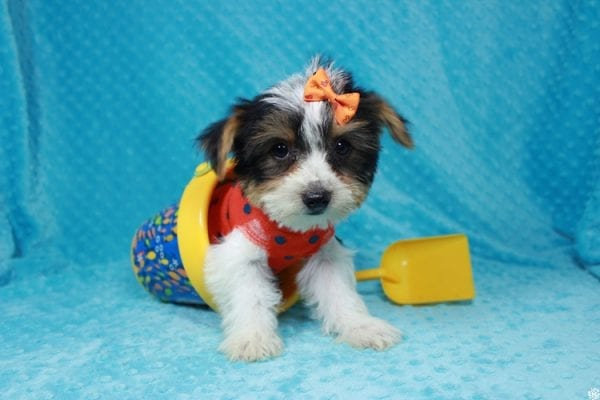 Fortnite - Teacup Parti Yorkie Puppy has found a good loving home with michael from Las Vegas, NV 89148.-24283