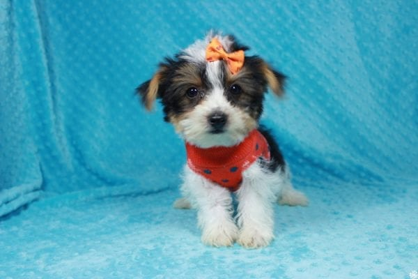 Fortnite - Teacup Parti Yorkie Puppy has found a good loving home with michael from Las Vegas, NV 89148.-24278