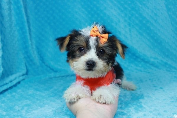 Fortnite - Teacup Parti Yorkie Puppy has found a good loving home with michael from Las Vegas, NV 89148.-24279