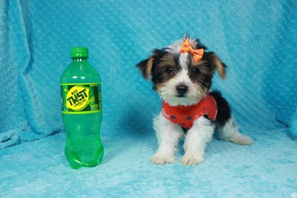 Fortnite - Teacup Parti Yorkie Puppy has found a good loving home with michael from Las Vegas, NV 89148.-0