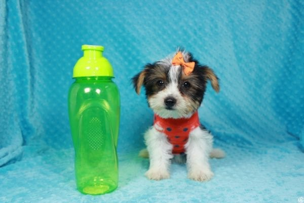 Fortnite - Teacup Parti Yorkie Puppy has found a good loving home with michael from Las Vegas, NV 89148.-24281