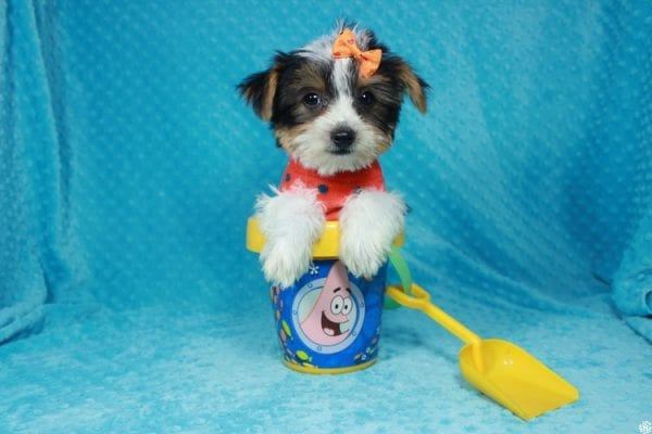 Fortnite - Teacup Parti Yorkie Puppy has found a good loving home with michael from Las Vegas, NV 89148.-24282