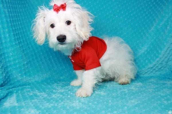Snoopy - Toy Maltipoo Puppy has found a good loving home with Jessica from Los Angeles, CA 90032-0