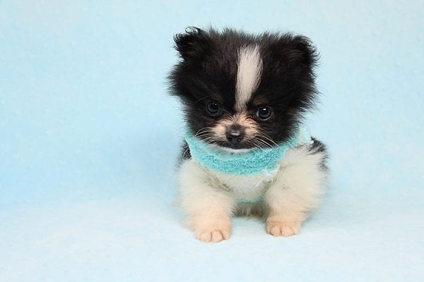 Inch - Tiny Teacup Pomeranian Puppy has found a good loving home with Jaklyn from Chandler, AZ 85286-27520