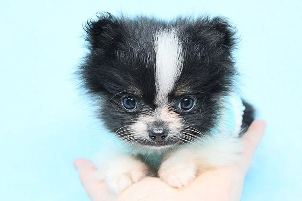 Inch - Tiny Teacup Pomeranian Puppy has found a good loving home with Jaklyn from Chandler, AZ 85286-27521