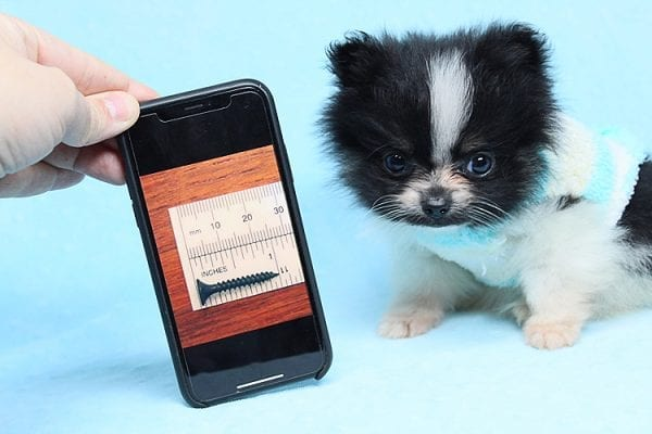 Inch - Tiny Teacup Pomeranian Puppy has found a good loving home with Jaklyn from Chandler, AZ 85286-0