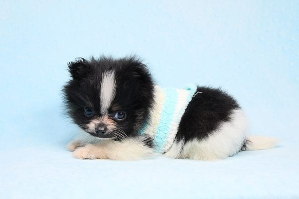 Inch - Tiny Teacup Pomeranian Puppy has found a good loving home with Jaklyn from Chandler, AZ 85286-27523