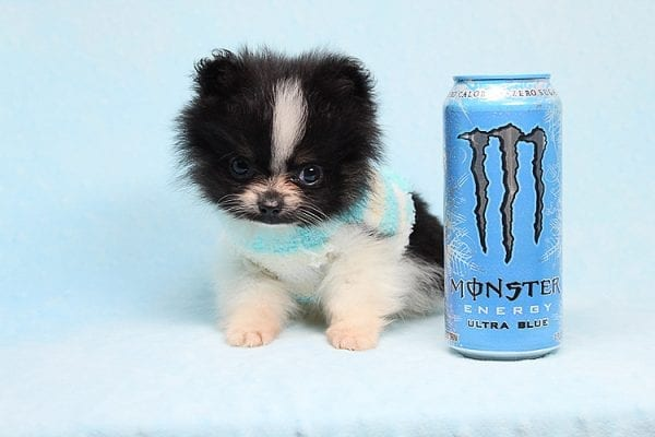 Inch - Tiny Teacup Pomeranian Puppy has found a good loving home with Jaklyn from Chandler, AZ 85286-27525