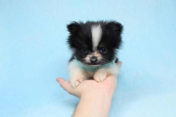 Inch - Tiny Teacup Pomeranian Puppy has found a good loving home with Jaklyn from Chandler, AZ 85286-27513