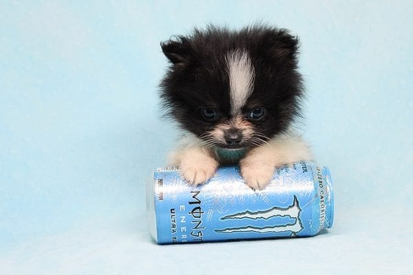 Inch - Tiny Teacup Pomeranian Puppy has found a good loving home with Jaklyn from Chandler, AZ 85286-27524