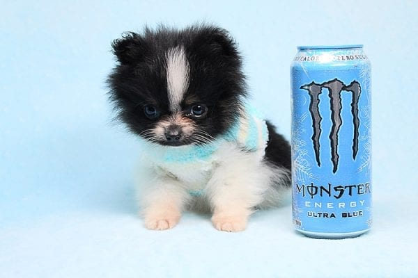 Inch - Tiny Teacup Pomeranian Puppy has found a good loving home with Jaklyn from Chandler, AZ 85286-27514
