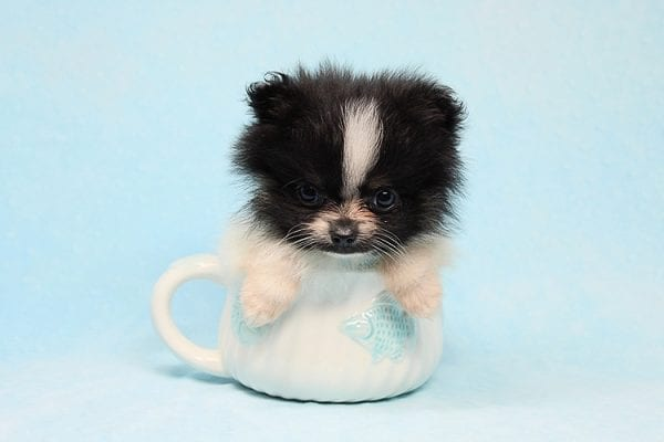 Inch - Tiny Teacup Pomeranian Puppy has found a good loving home with Jaklyn from Chandler, AZ 85286-27515