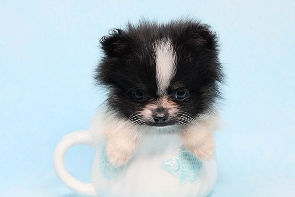 Inch - Tiny Teacup Pomeranian Puppy has found a good loving home with Jaklyn from Chandler, AZ 85286-27516
