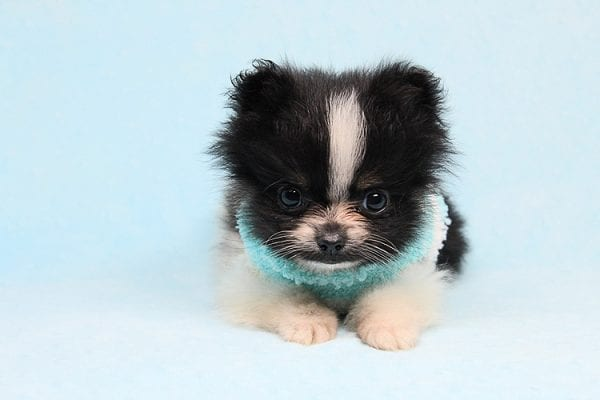 Inch - Tiny Teacup Pomeranian Puppy has found a good loving home with Jaklyn from Chandler, AZ 85286-27517
