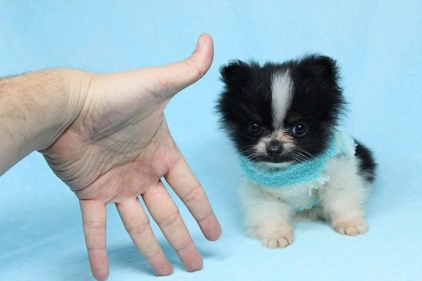 Inch - Tiny Teacup Pomeranian Puppy has found a good loving home with Jaklyn from Chandler, AZ 85286-27518