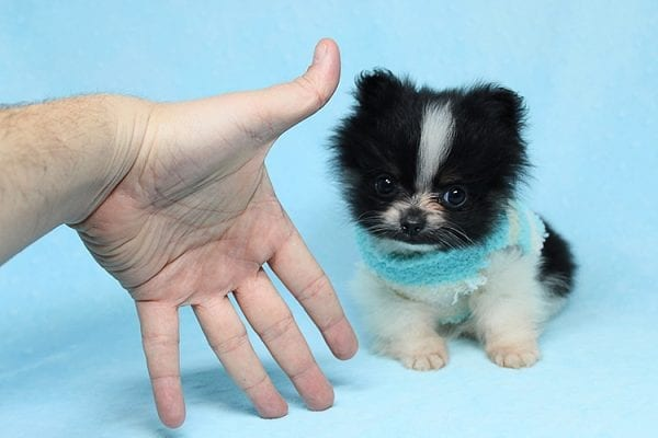 Inch - Tiny Teacup Pomeranian Puppy has found a good loving home with Jaklyn from Chandler, AZ 85286-27519