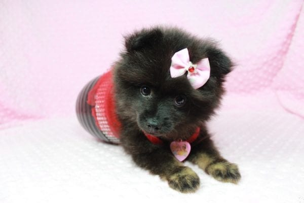 Janet - Toy Pomeranian Puppy has found a good loving home with Susan from Overton, NV 89040-24575