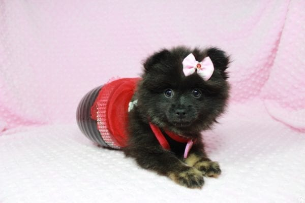 Janet - Toy Pomeranian Puppy has found a good loving home with Susan from Overton, NV 89040-0