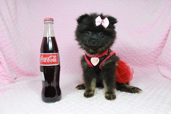 Janet - Toy Pomeranian Puppy has found a good loving home with Susan from Overton, NV 89040-24572