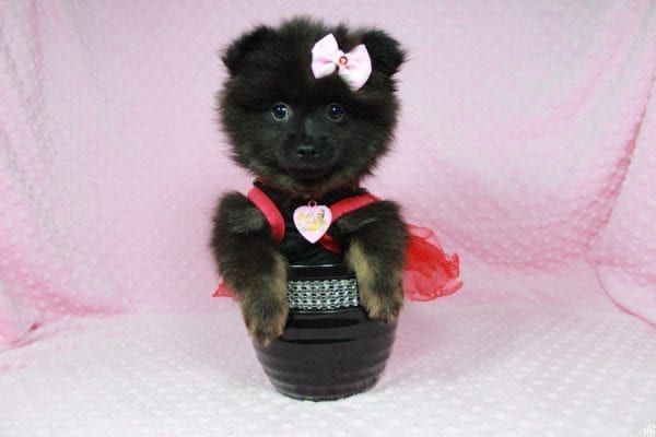 Janet - Toy Pomeranian Puppy has found a good loving home with Susan from Overton, NV 89040-24574