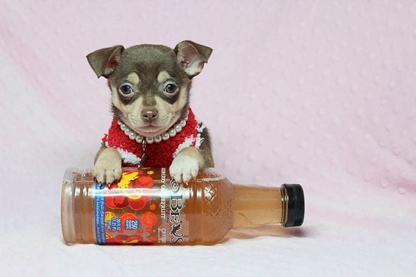 Jojo Siwa - Teacup Chihuahua Puppy has found a new home in CA-27534
