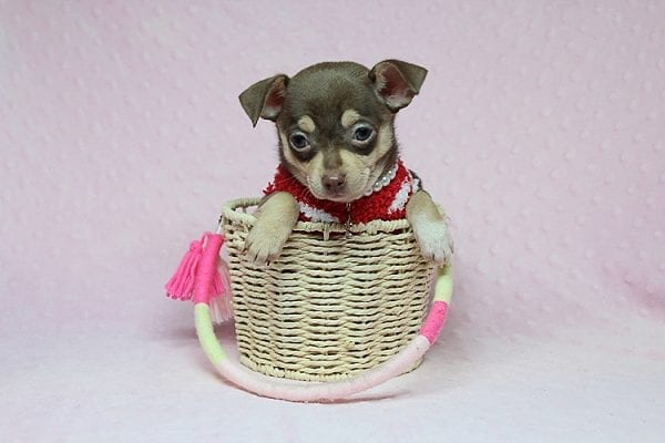 Jojo Siwa - Teacup Chihuahua Puppy has found a new home in CA-0