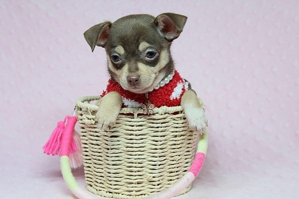 Jojo Siwa - Teacup Chihuahua Puppy has found a new home in CA-27536
