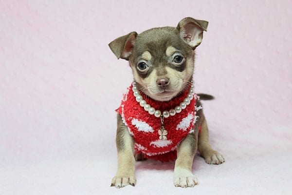 Jojo Siwa - Teacup Chihuahua Puppy has found a new home in CA-27527