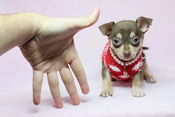 Jojo Siwa - Teacup Chihuahua Puppy has found a new home in CA-27528