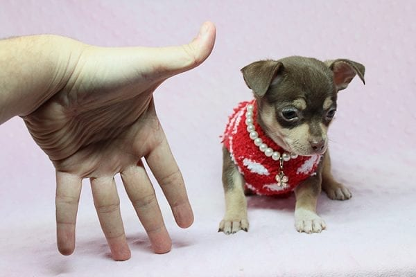 Jojo Siwa - Teacup Chihuahua Puppy has found a new home in CA-27529