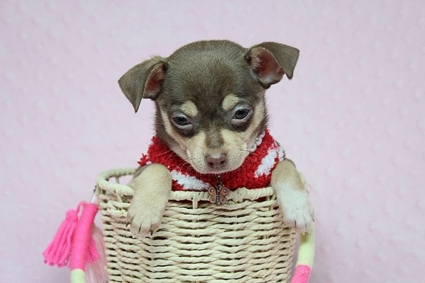 Jojo Siwa - Teacup Chihuahua Puppy has found a new home in CA-27530