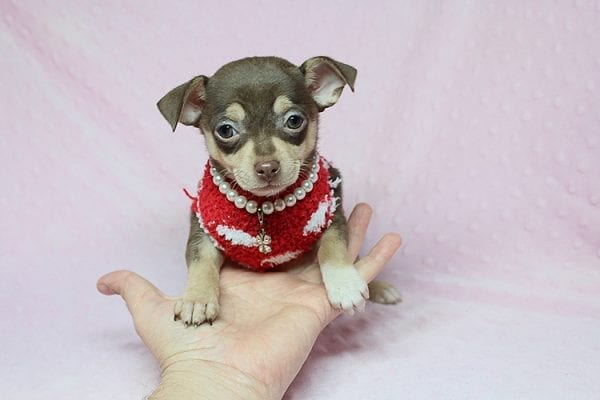 Jojo Siwa - Teacup Chihuahua Puppy has found a new home in CA-27531