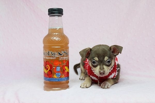 Jojo Siwa - Teacup Chihuahua Puppy has found a new home in CA-27532