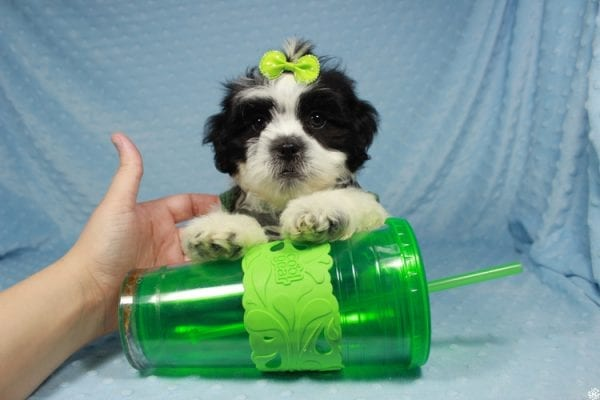 Lego - Toy Malshi Puppy has found a good loving home with Janae from Las Vegas, NV 89121.-24725