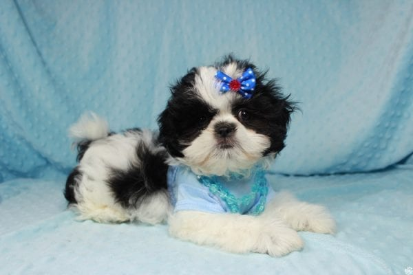Oreo - Teacup Shih Tzu Puppy has found a good loving home with Alicea from Las Vegas, NV 89123.-0