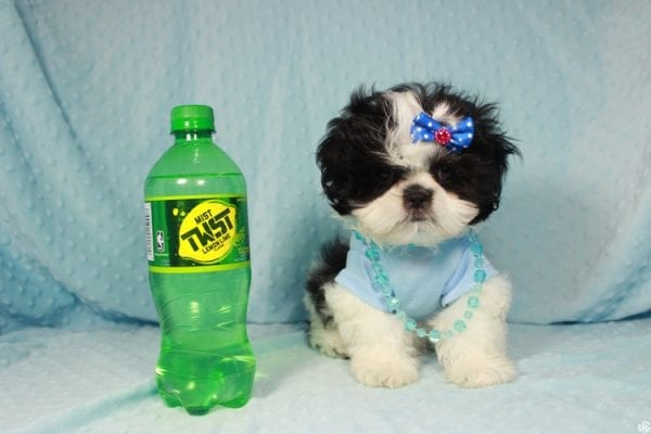 Oreo - Teacup Shih Tzu Puppy has found a good loving home with Alicea from Las Vegas, NV 89123.-24581