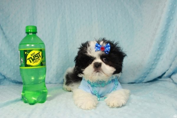 Oreo - Teacup Shih Tzu Puppy has found a good loving home with Alicea from Las Vegas, NV 89123.-24582