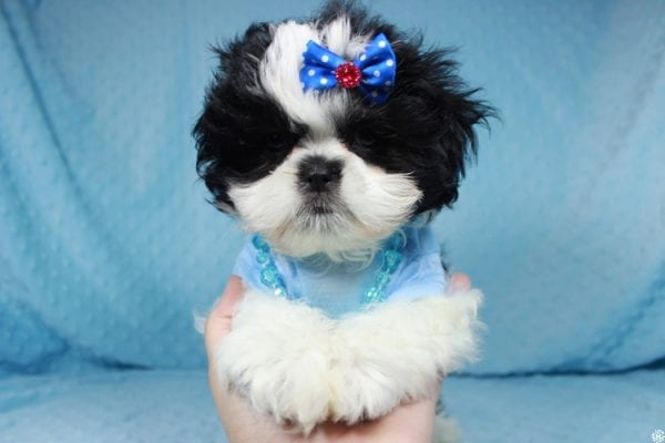 Oreo - Teacup Shih Tzu Puppy has found a good loving home with Alicea from Las Vegas, NV 89123.-24579