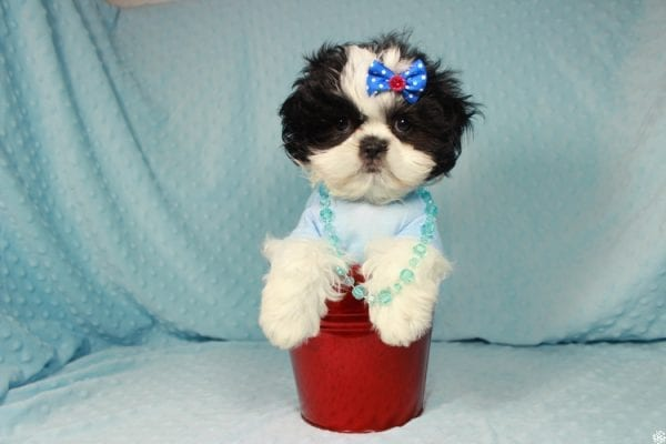 Oreo - Teacup Shih Tzu Puppy has found a good loving home with Alicea from Las Vegas, NV 89123.-24577