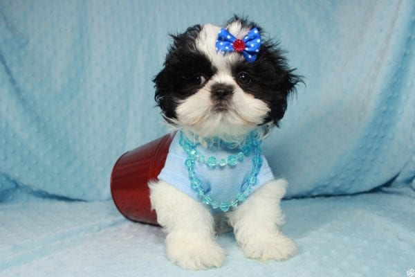 Oreo - Teacup Shih Tzu Puppy has found a good loving home with Alicea from Las Vegas, NV 89123.-24578