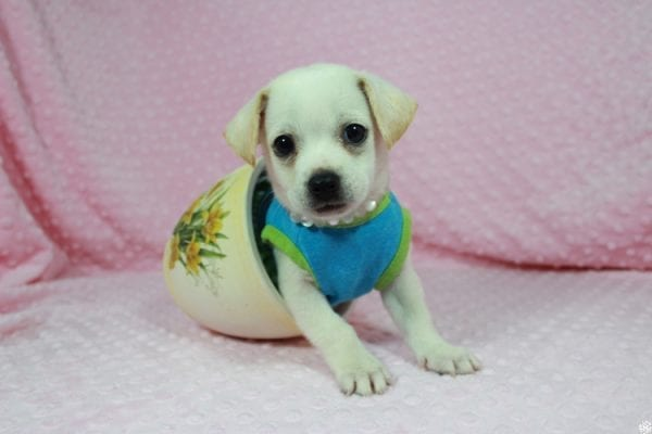 Meeny - Teacup Malchi Puppy has found a good loving home with Susan from Henderson, NV 89015-24464