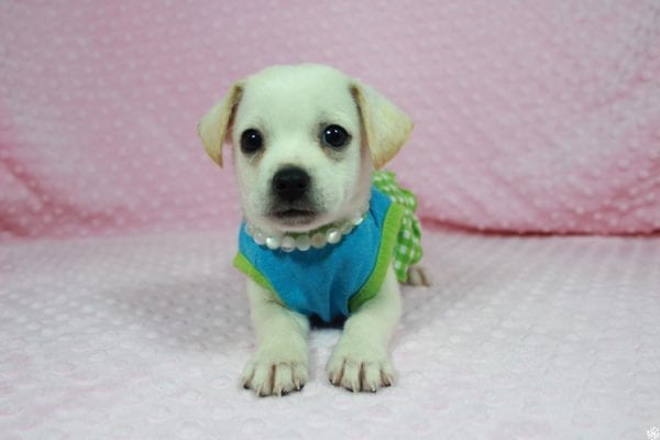 Meeny - Teacup Malchi Puppy has found a good loving home with Susan from Henderson, NV 89015-24461