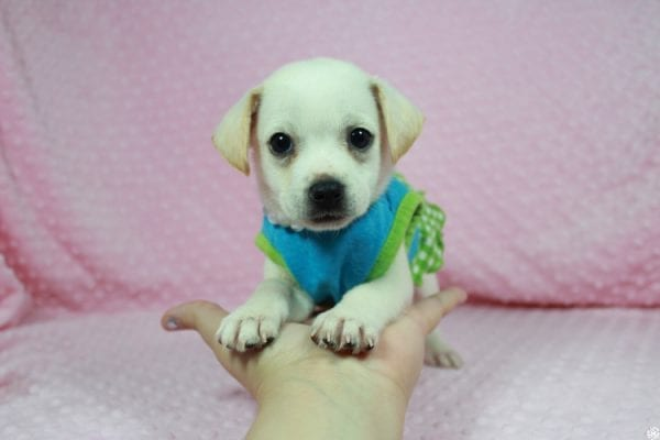 Meeny - Teacup Malchi Puppy has found a good loving home with Susan from Henderson, NV 89015-0