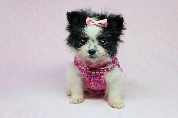 Micro Cinderella - Tiny Teacup Pomeranian Puppy has found a good loving home with Michael from Las Vegas, NV 89169-27537